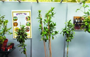 Mr. Schiffer's plants inside his sukkah; he uses them as living decorations.