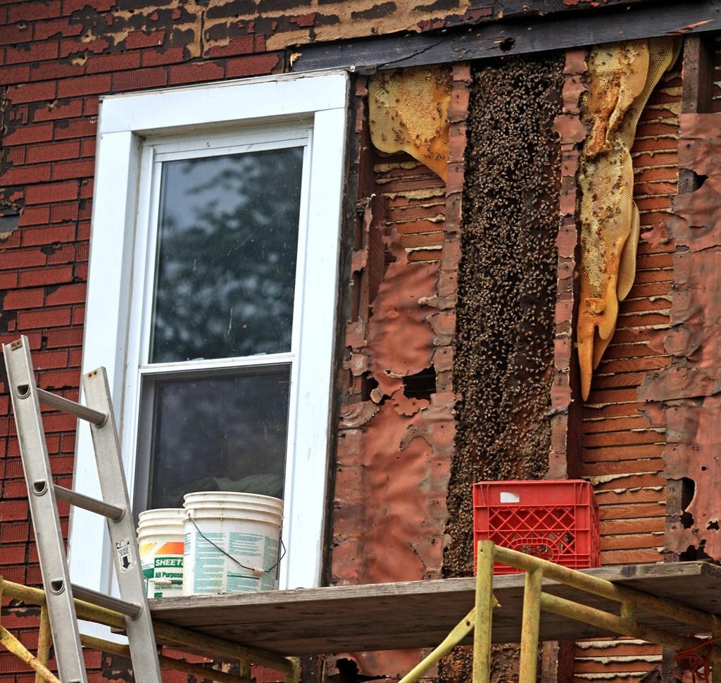 Herald-Record via AP Bees infest the wall underneath the siding of a home in Wallkill, N.Y. (Elaine A. Ruxton/Times)