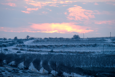 An orchard covered in snow in Gush Etzion, outside of Jerusalem on January 27, 2016. Photo by Gershon Elinson/Flash90