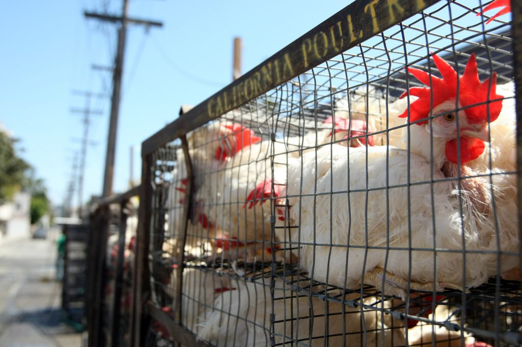 chickens, Los Angeles, irvine, Chabad, lawsuit