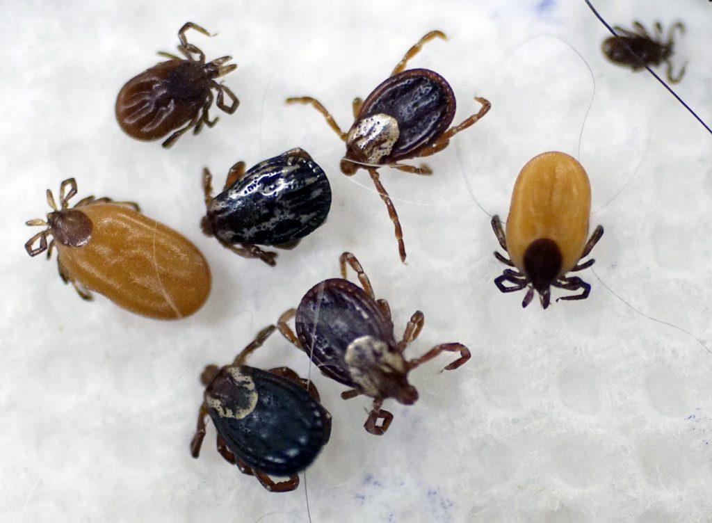 ticks New England