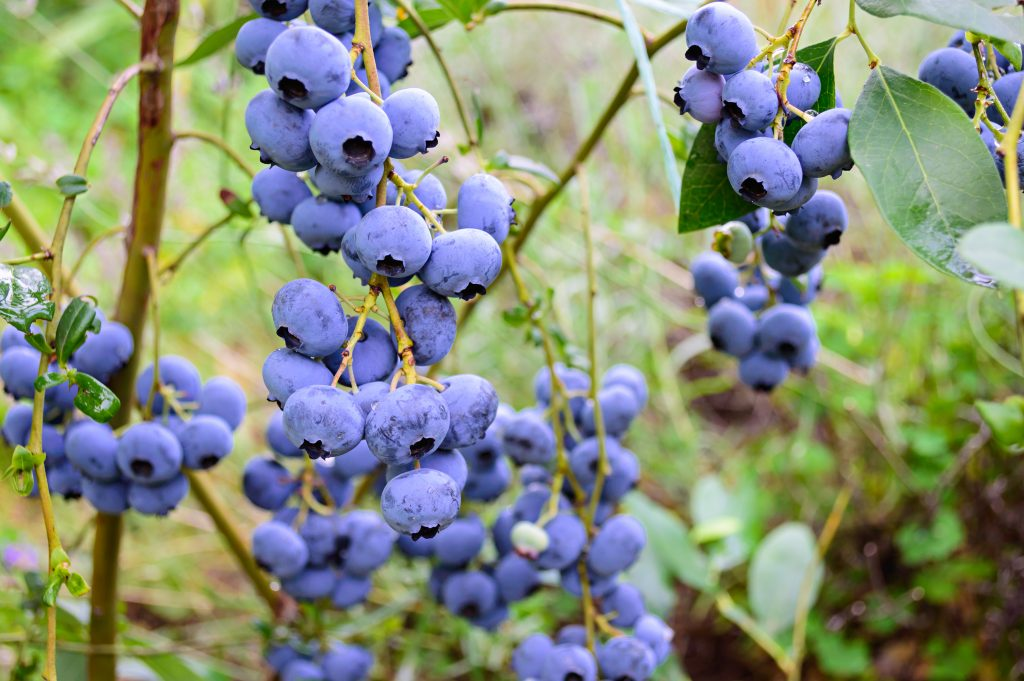 blueberries, Maine blueberry