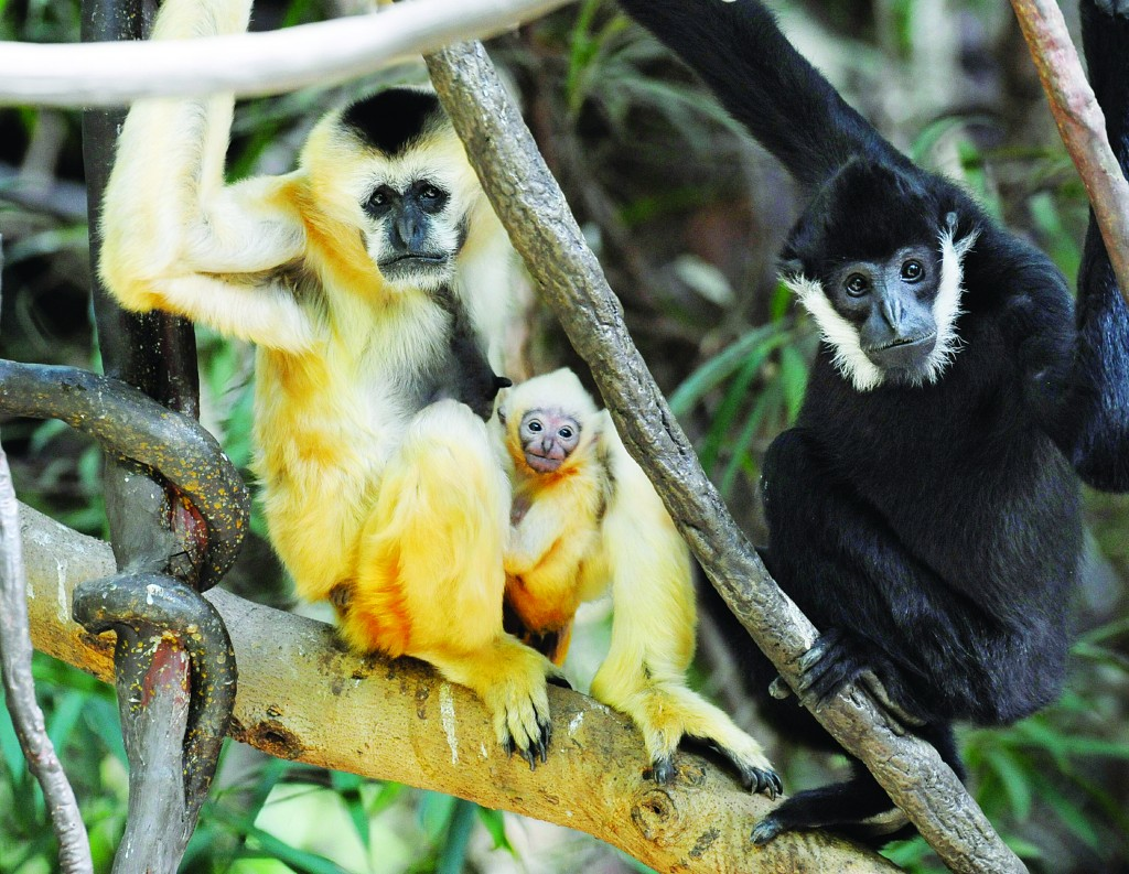 New York City's Bronx Zoo has a new resident that's native to parts of Asia: a white-cheeked baby gibbon, seen sitting on a tree limb between its parents at the Bronx Zoo's 'JungleWorld' exhibit in New York. Gibbons are endangered by deforestation and hunting in Vietnam, China and Laos. (AP Photo/WCS, Julie Larsen Maher)