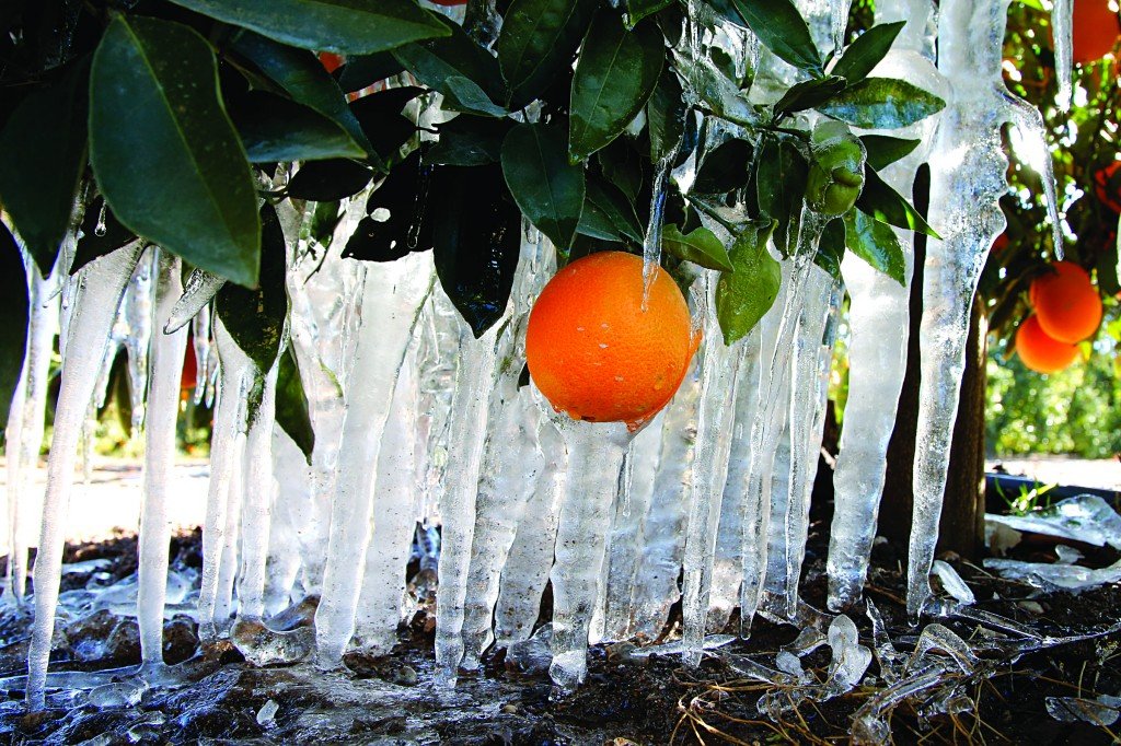 Icicles are formed on an orange tree in an orange grove in Redlands, Calif., Tuesday. (AP Photo/Jae C. Hong)