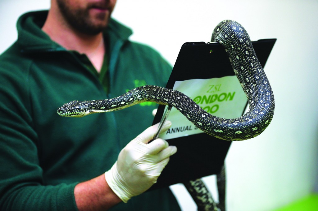 A Diamond Python is held during London Zoo's annual stocktake of animals in London, England. The zoo's stocktake takes place annually, and gives keepers a chance to check on the numbers of every one of the animals from stick insects and frogs to tigers and camels. (Dan Kitwood/Getty Images)