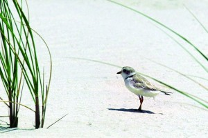 In this file photo, a piping plover walks on the beach in West Hampton Dunes, N.Y. The endangered bird's return to Fire Island, N.Y., will severely restrict truck access to the barrier island during cleanup efforts in the aftermath of Superstorm Sandy. (AP Photo/Ed Bailey)