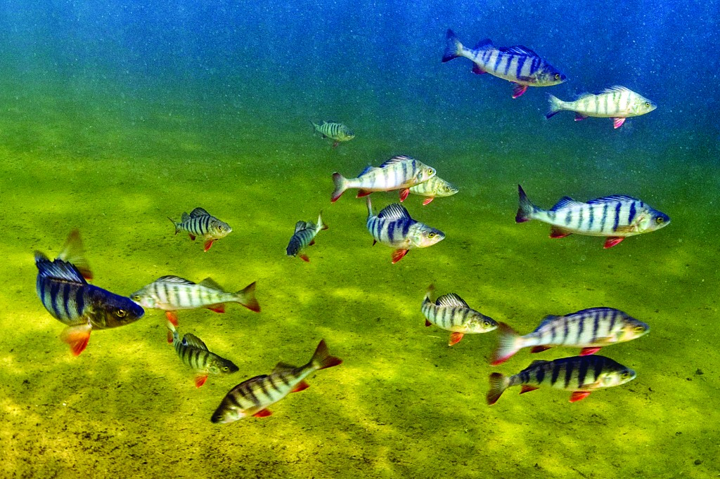 This 2009 photo provided by Bent Christensen shows perch fish swimming in Sweden. (AP Photo/Bent Christensen)