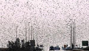 A cloud of locusts seen over the Ramat Negev. (FLASH90)