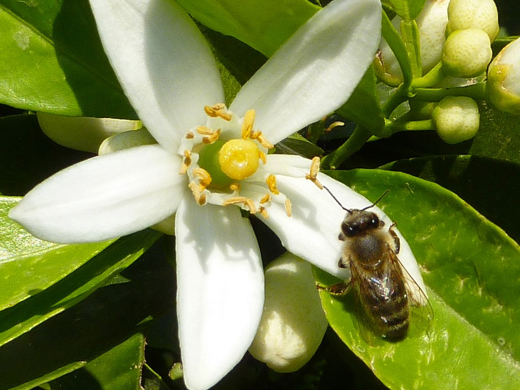 A honeybee visiting a citrus flower. A new study says honeybees get a shot of caffeine from certain flowers, and it perks up their memory. That spurs them to return to the same type of plant, boosting its prospects for pollination and the future of the plant species. (AP Photo/Geraldine Wright)