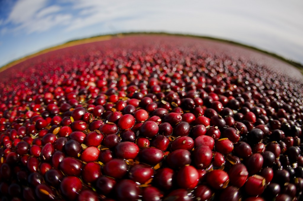 Cranberries float in a marsh, waiting to be harvested, near Warrens, Wis. On Monday, the growers associations for Massachusetts and Wisconsin said that cranberry farmers, who spent millions of dollars to replant and expand bogs, are facing a financial crisis after a huge harvest in Canada flooded the market and sent prices plummeting. (AP Photo/Wisconsin State Cranberry Growers Association, Andy Manis, File)