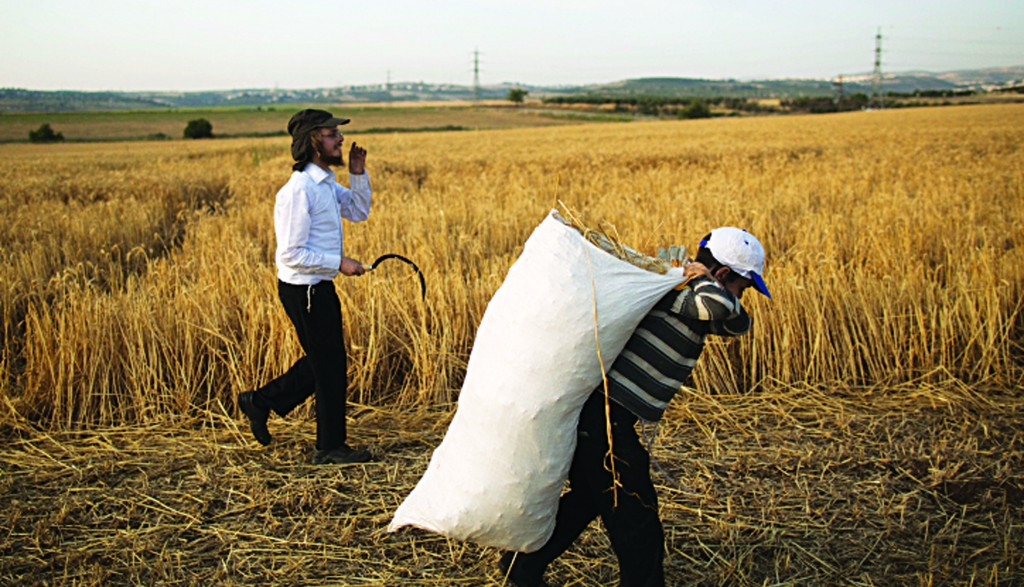 Only weeks after Pesach 5773, preparations for Pesach 5774 are already underway as wheat for usage in shemurah matzos is harvested with a hand sickle in a field near Modi'in on Thursday. (Yonatan Sindel/Flash90)
