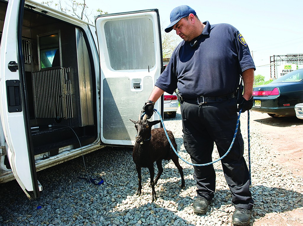 The goat which caused a four-car accident and traffic backups on the Pulaski Skyway in Jersey City on Tuesday is corralled by Animal Control Officer John Ross. (AP Photo/The Jersey Journal, Reena Rose Sibayan)