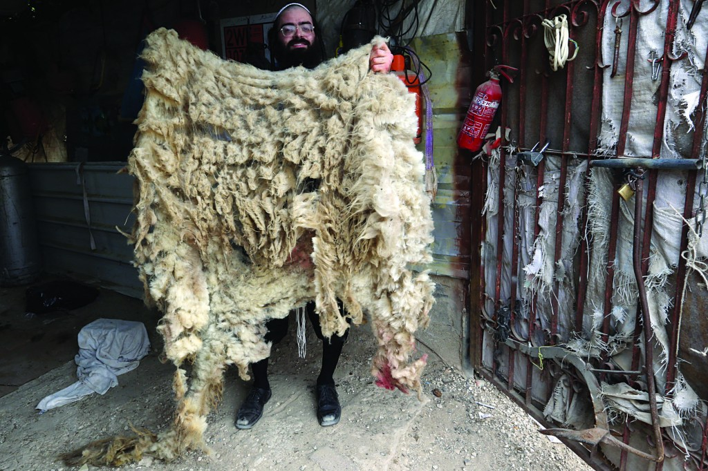 Shearing a sheep for the mitzvah of reishis hagez on a farm in the hills near Yerushalayim on Sunday. (Flash 90)