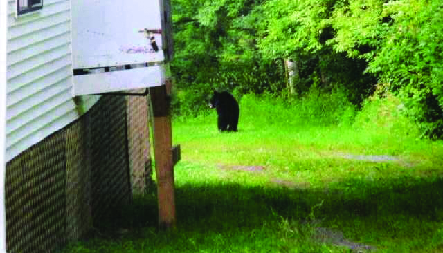 A bear is seen behind a bungalow at Sun Ranch Bungalows in Monticello, Thursday. As tens of thousands of families and campers head up to the Catskills, encounters between the shy bruin natives and urban residents are possible. Covering trash cans limits the likelihood. (JDN)