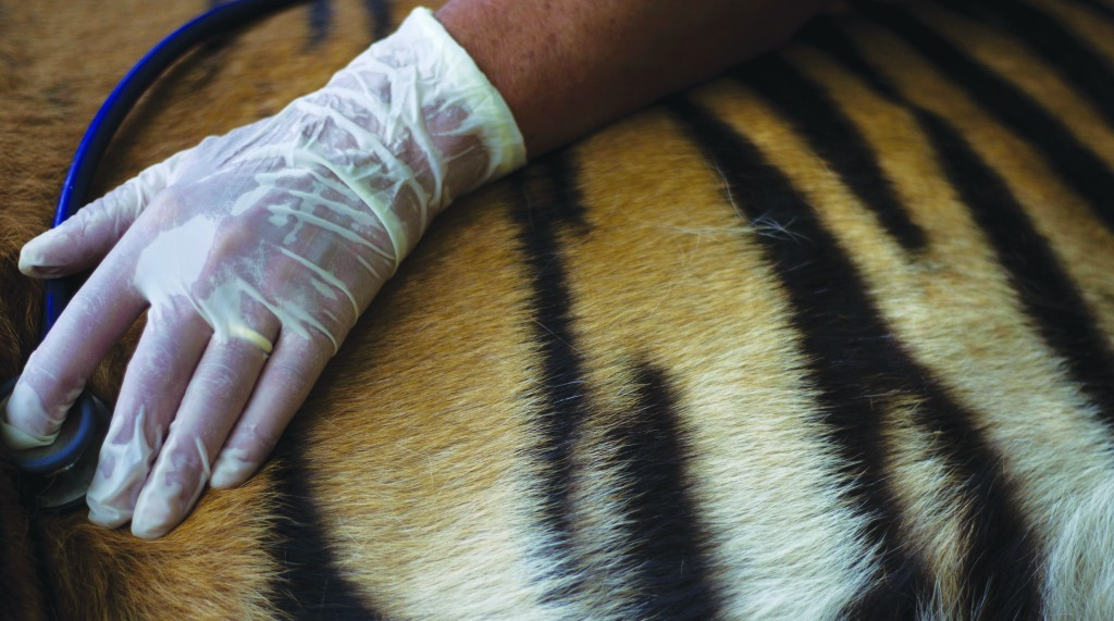 A Safari employee checks the pulse of Pedang, a 14-year-old male Sumatran tiger that has been suffering from chronic ear problems, as it goes through a holistic treatment based on acupuncture at different points in his body and ears in the Ramat Gan Safari near Tel Aviv, on Sunday. (AP Photo/Ariel Schalit)