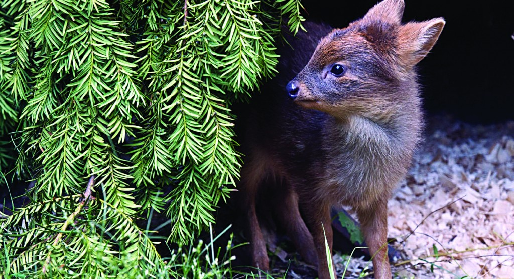 A newborn southern pudu born at the Queens Zoo last month. A member of the world's smallest deer species that's native to Chile and Argentina, the doe weighed one pound at birth. It will soon transition to eating solid foods such as fresh leaves, grain and kale. (AP Photo/Wildlife Conservation Society, Julie Larsen Maher)