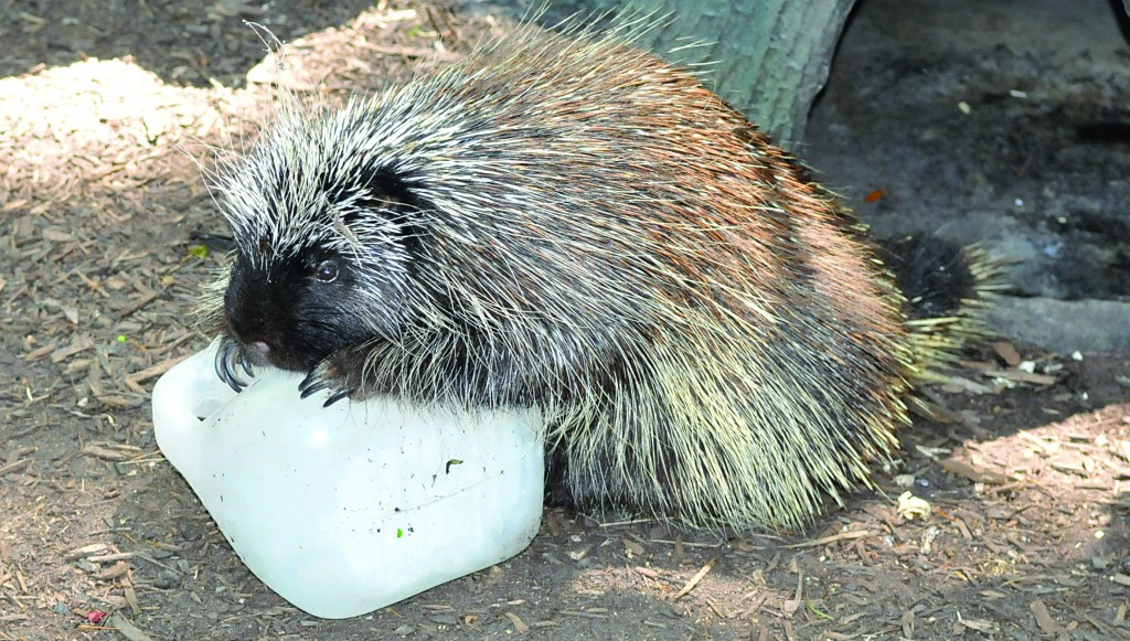 A porcupine rests in the heat against a block of ice at Bergen County Zoological Park, Tuesday in Paramus, N.J. (AP Photos)