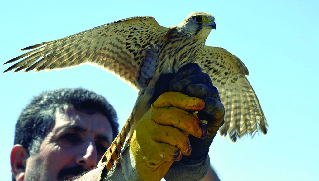 A Turkish man is about to release a bird of prey found in a village in the eastern province of Elazig, Turkey, on Friday. The bird has been cleared of local suspicion that it was aiding Israeli spies. (AP Photo/Gulbin Yildiz, DHA)