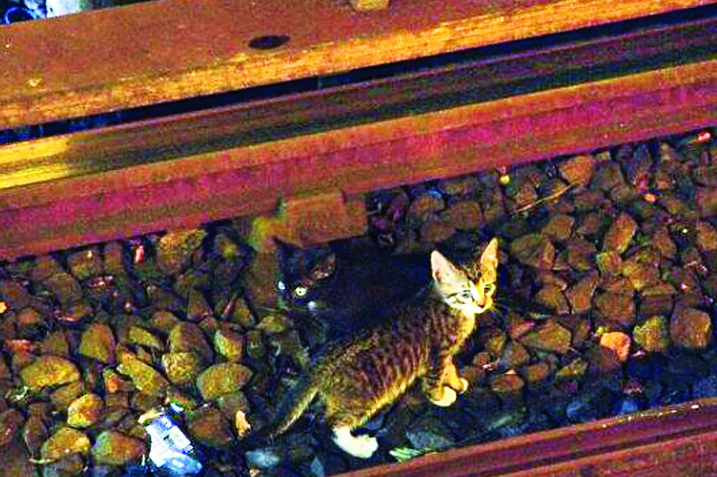 Two kittens stand between the rails on subway tracks in the Brooklyn borough of New York. (AP Photo/Metropolitan Transit Authority)