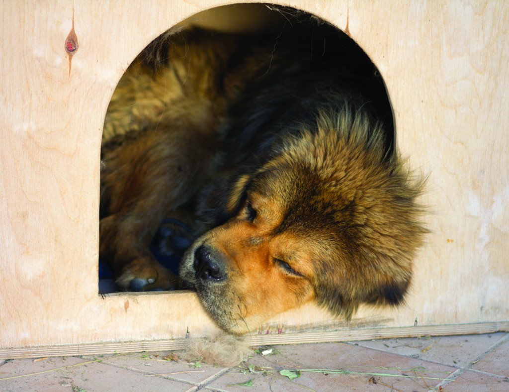A zoo in central China attempted to pass off a Tibetan mastiff as a lion.
