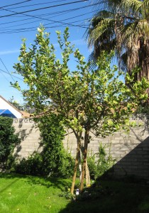 Esrog trees in California.