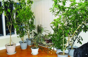 Esrog trees (the tall ones) growing inside the house  during the winter.