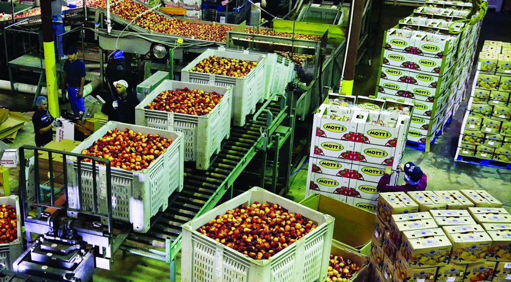Workers load large containers of nectarines for sorting, at Eastern ProPak Farmers Cooperative in Glassboro, N.J. Along with processing the harvest of nectarines, peaches and apples, South Jersey farmers are donating about 800,000 pounds of slightly blemished peaches, typically discarded, to Campbell Soup Company. Campbell will produce Just Peachy Salsa, to be sold locally, with the proceeds going to the Food Bank of South Jersey. (AP Photo/Mel Evans)