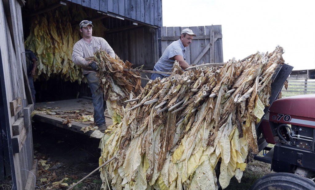 Jonathan Shell, left, and his dad, Gary Shell, right, unload sticks of tobacco, as four generations of the Shell family housed tobacco in a barn in Lancaster, Ky., Tuesday, October 1, 2013. Jonathan Shell, a first-term Republican in the Kentucky House of Representatives, is worried over a vote Tuesday in the European Parliament that would crack down on the use of additives. (Charles Bertram/Lexington Herald-Leader/MCT)