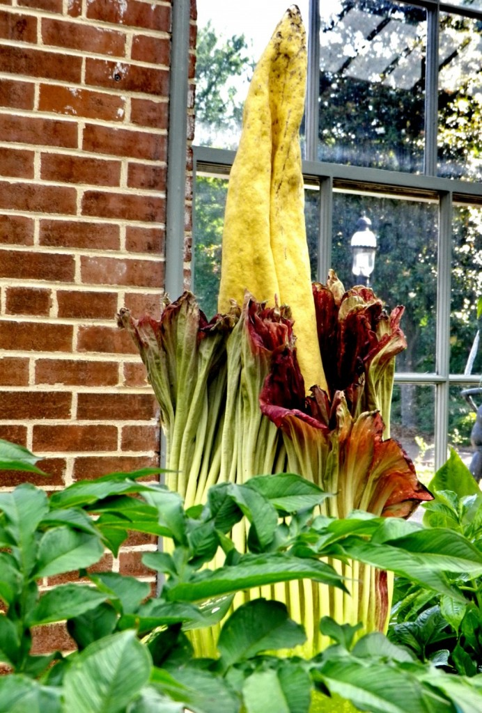 "The titan arum, or ""corpse flower"". (AP Photo/Courtesy of the Missouri Botanical Garden)"