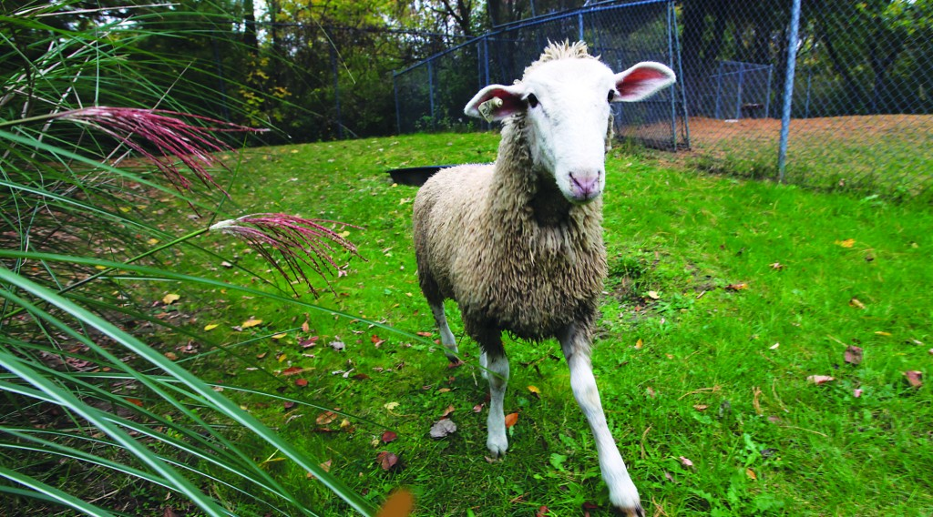 The sheep that went on the lam from a Detroit slaughterhouse Tuesday is safe and sound at the Humane Society in Rochester Hills on Wednesday, Oct. 16, 2013. The approximately one-year-old ewe will be going to the Sanctuary and Safe Haven for Animals Farm in Manchester, Mich. (AP Photo/Detroit Free Press, Kathleen Galligan)