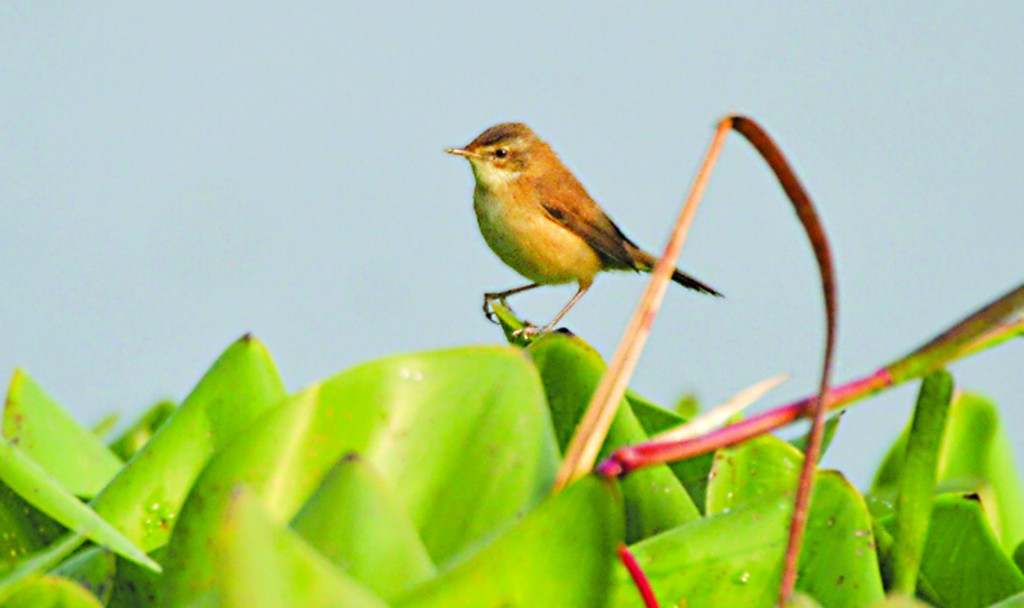 A Paddyfield Warbler (Acrocephalus agricola) seen in its usual habitat in Bengal, India.