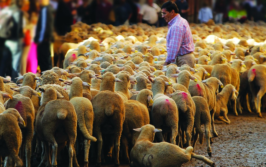 A man crosses the street as shepherds lead their sheep through the center of Madrid, Spain. Spanish shepherds led flocks of sheep through the streets of downtown Madrid in defense of ancient grazing, migration and droving rights threatened by urban sprawl and man-made frontiers. (AP Photo/Andres Kudacki)