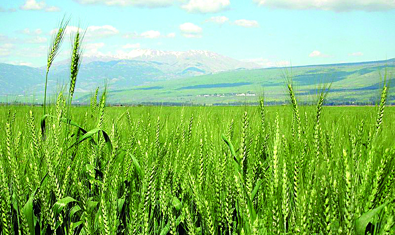 Wheat in the Hulah Valley. (wik)