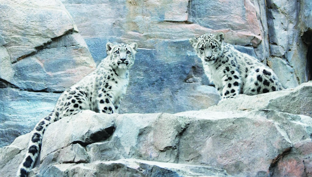 Two baby snow leopards, yet unnamed, are shown to the public for the first time Tuesday at the Central Park Zoo. (AP Photo/Wildlife Conservation Society)