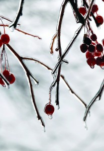 Berries are encrusted in ice after an overnight storm in Ewing, N.J., early Sunday. (AP Photo/Mel Evans)