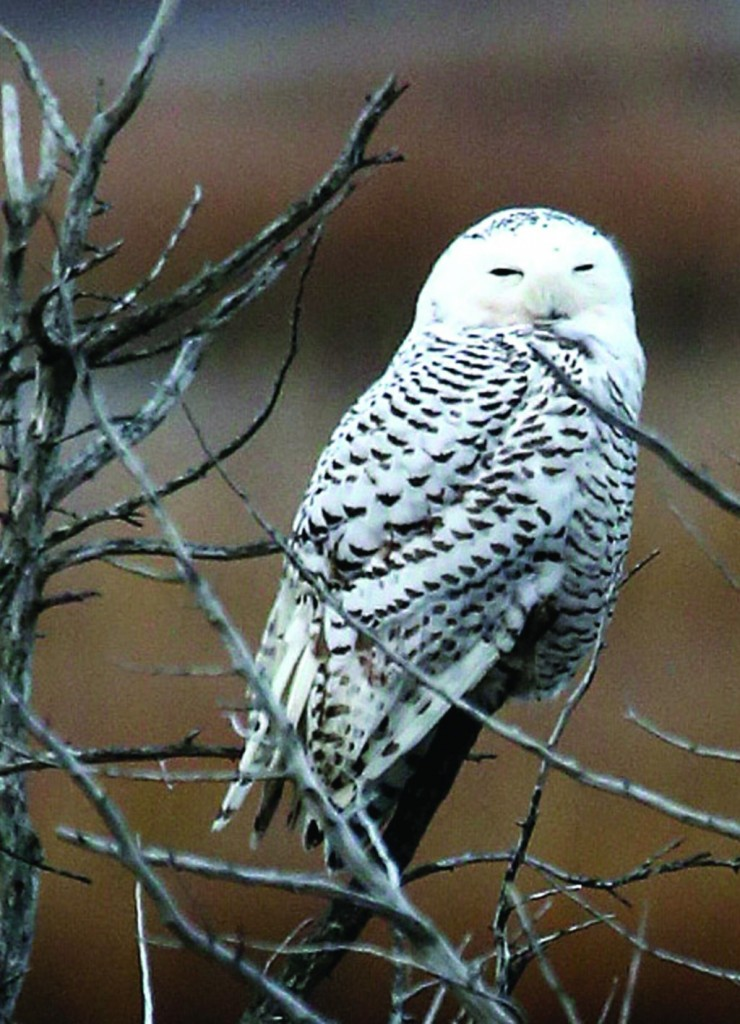 A snowy owl rests on a branch at a New Jersey wildlife refuge earlier this month. (AP Photo/The Press of Atlantic City, Vernon Ogrodnek)