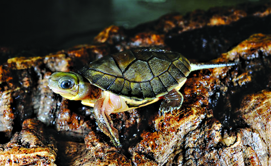 A Chinese big-headed turtle.
