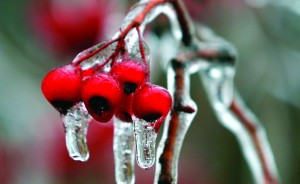 Ice-covered berries on Sunday hang from a tree in Buffalo, N.Y. (AP Photo/Mike Groll)