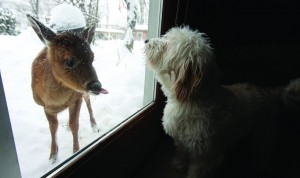 A fawn and a dog examine each other through a window of an Amherst, N.Y. home, Wednesday. (AP Photo/The Buffalo News, Charles Lewis)