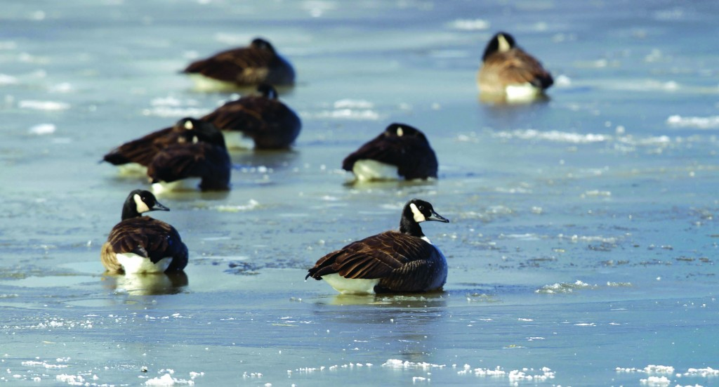 Fairfax, Virginia  Ducks are seen on a frozen section of a pond. The National Weather Service said the mercury bottomed out at 3 degrees before sunrise at Baltimore-Washington Thurgood Marshal International Airport, with a wind chill of minus 16.