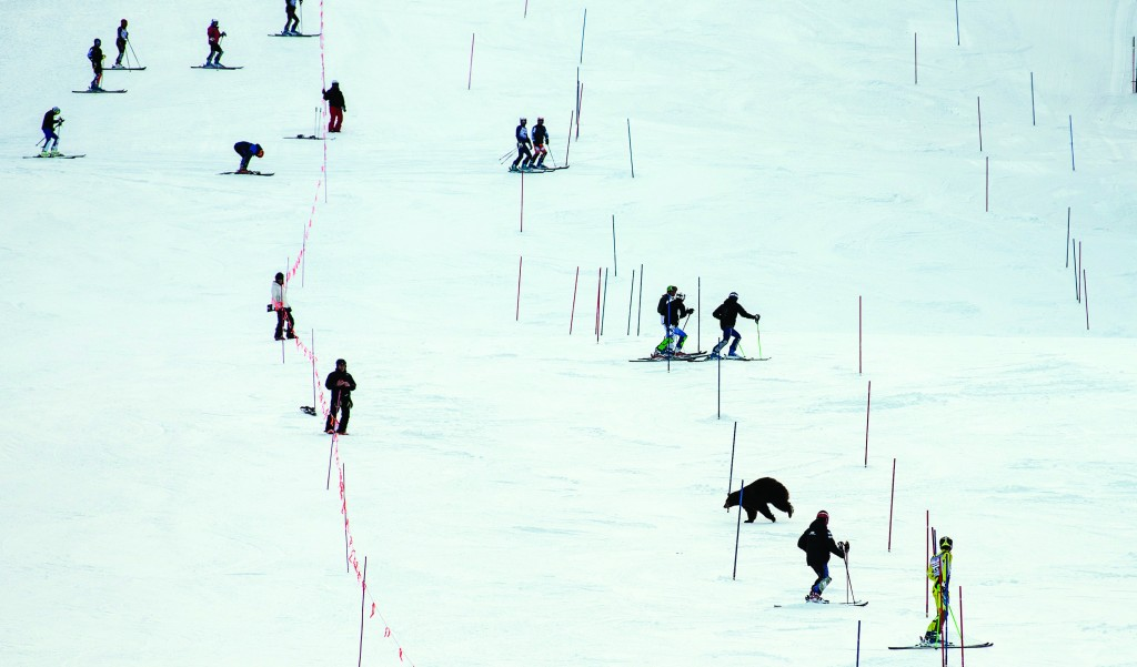 A bear crosses in front of skiers at the Far West Masters ski race in South Lake Tahoe, Calif. Skiers took a brief pause to let the bruin cross the slope without incident and disappear into the woods on the other side. (AP Photo/Tahoe Daily Tribune, Tom Lotshaw)