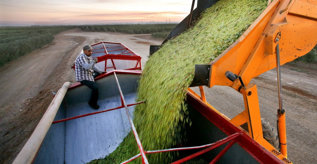 Gondola operator Javier Alanis looks on, as a gondola is used to lower olives that were just harvested into a collecting bin at California Olive Ranch in Artois, Calif., Nov. 9, 2013. The bin can hold up to 33,000 pounds of olives. (Mel Melcon/Los Angeles Times/MCT)