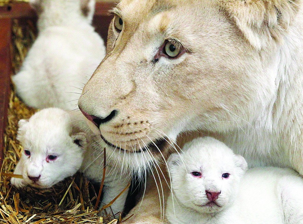 White lioness Azira lies in their cage with two of her three white cubs that were born last week in a private zoo in Borysew, in central Poland, on Tuesday (AP Photo/Czarek Sokolowsk)