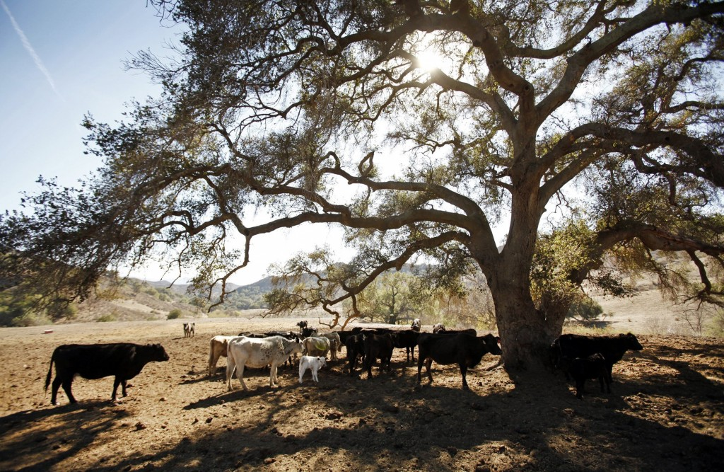 Cattle belonging to cattle rancher Rob Frost are up to 200 pounds underweight, grazing on dirt that would normally have 6 to 10 inches of grass this time of year, Jan. 27, 2014, near Santa Paula, Calif. (Al Seib/Los Angeles Times/MCT)
