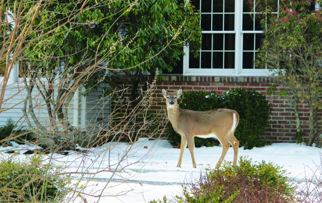 A deer walks across the front lawn of a home in Southold, N.Y. last month. (AP Photo/Frank Eltman)