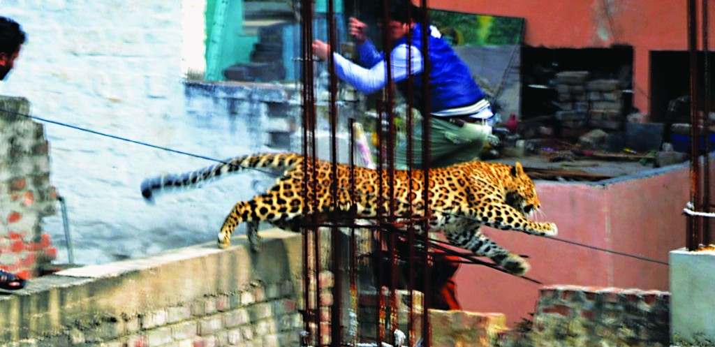 An Indian man moves out of the way of a leopard in the northern Indian city of Meerut, India. Forestry officials and police armed with tranquilizer darts searched for a leopard that injured six people in the northern Indian city, creating panic and driving people indoors, police said Tuesday. (AP Photo)