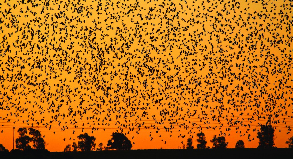 A flock of starlings flying over an agricultural field near the southern Israeli city of Netivot on Wednesday. The starlings migrate from central and Eastern Europe to spend the winter in Israel. (REUTERS/Amir Cohen)