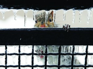 A squirrel peers through icicles Wednesday in Trenton, N.J. (AP Photo/Mel Evans)
