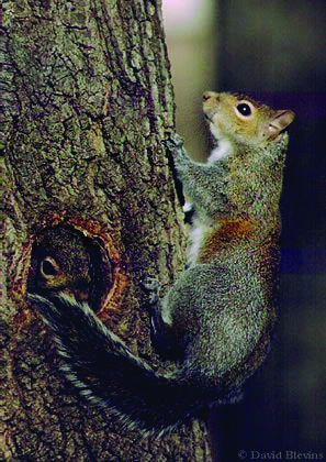 A gray squirrel climbs a tree in New York as another peeks out of a hole.