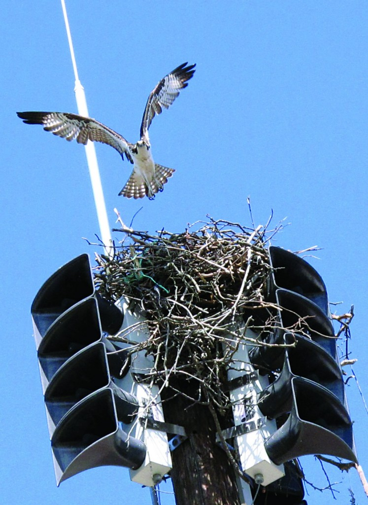 An osprey takes off from its nest inside a fire siren in Spring Lake N.J. on Tuesday May 6, 2014.  (AP Photo/Wayne Parry)